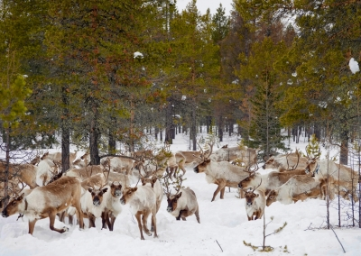 A migration to new pastures of reindeers on Chitkanda river area. Trans-Baikal Territory